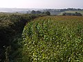 Edge of maize field, Pitt - geograph.org.uk - 556837.jpg