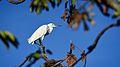 Egretta thula - pequena garça observando sobre as árvores.jpg