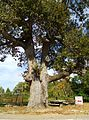 Elamville Alabama Old Oak Tree.JPG