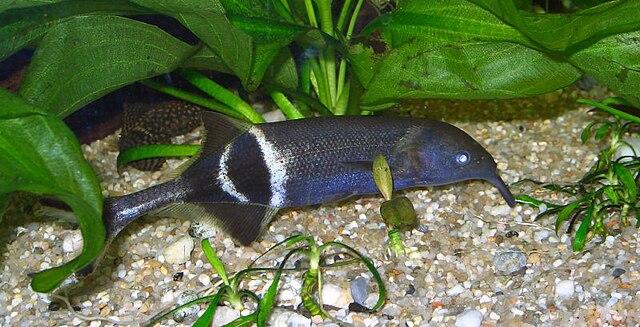 Elephantfish 640px-Elefantenr%C3%BCsselfisch