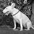Elektrostal 1995 year. Dog Bull Terrier. img 002.jpg