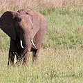 Elephant calf (39968137803).jpg