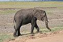 Elephant in Chobe National Park 03.jpg