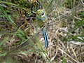 Emperor dragonfly. on Woodbury Common - geograph.org.uk - 1364766.jpg