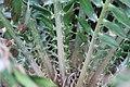 Encephalartos gratus 1zz.jpg