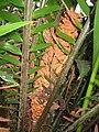 Encephalartos hildebrandtii, RBGE 2009.jpg