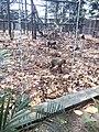 Endangered Drill monkeys at Driving ranch, calabar,Nigeria 02.jpg