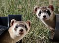 Endangered black-footed ferret (17504565059).jpg