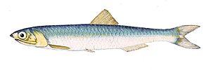 Anchovy - European anchovy, Engraulis encrasicolus