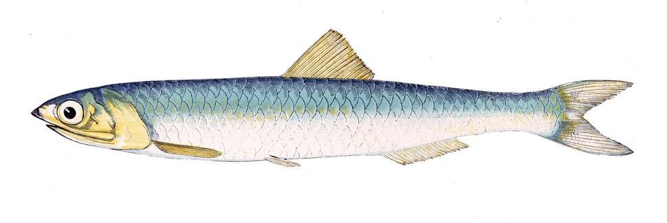 Engraulis encrasicolus Gervais flipped