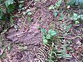 Ensatina habitat - Flickr - brewbooks.jpg