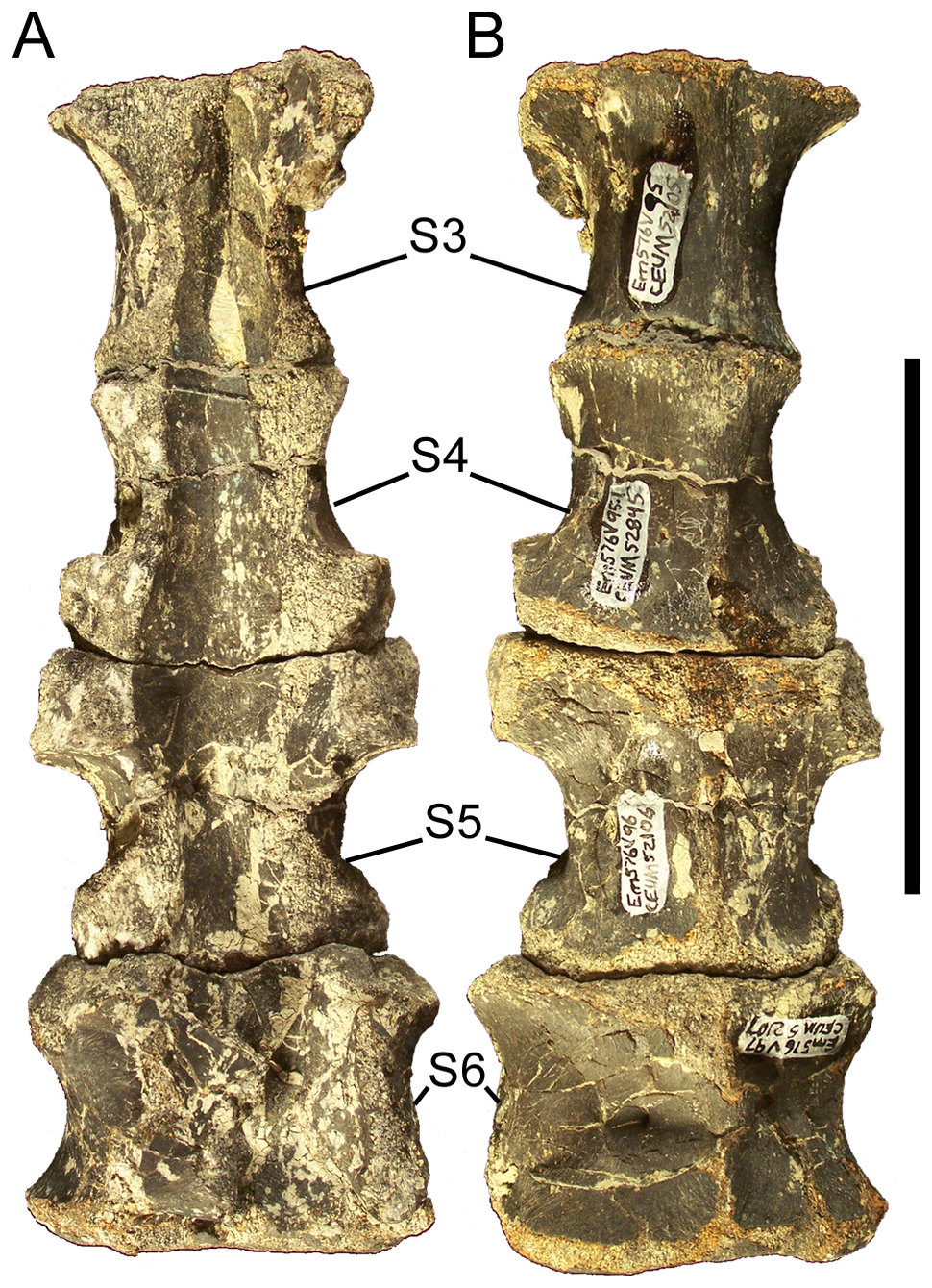 Eolambia sacrum