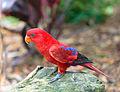 Eos bornea -Taronga Zoo, Sydney, Australia-8a (1).jpg
