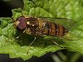 Episyrphus balteatus (Syrphidae), ♂ (9424242120).jpg
