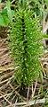 Equisetum telmateia Fallätsche drops cropped 20200507.jpg