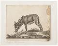 Equus asinus - 1700-1880 - Print - Iconographia Zoologica - Special Collections University of Amsterdam - UBA01 IZ21700053.tif