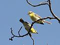 Eremomela scotops scotops, Cecil Kop-natuurreservaat, Birding Weto, a.jpg
