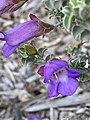 Eremophila rotundifolia.jpg