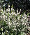 Erica arborea (Habitus).jpg