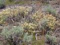 Eriogonum umbellatum majus (4394514327).jpg