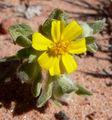 Eriophyllum wallacei 1.jpg