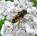 Eristalis arbustorum.. Female. Syrphidae - Flickr - gailhampshire.jpg