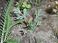 Eschscholzia californica 2017-05-31 1971.jpg