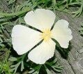 Eschscholzia californica white.jpg
