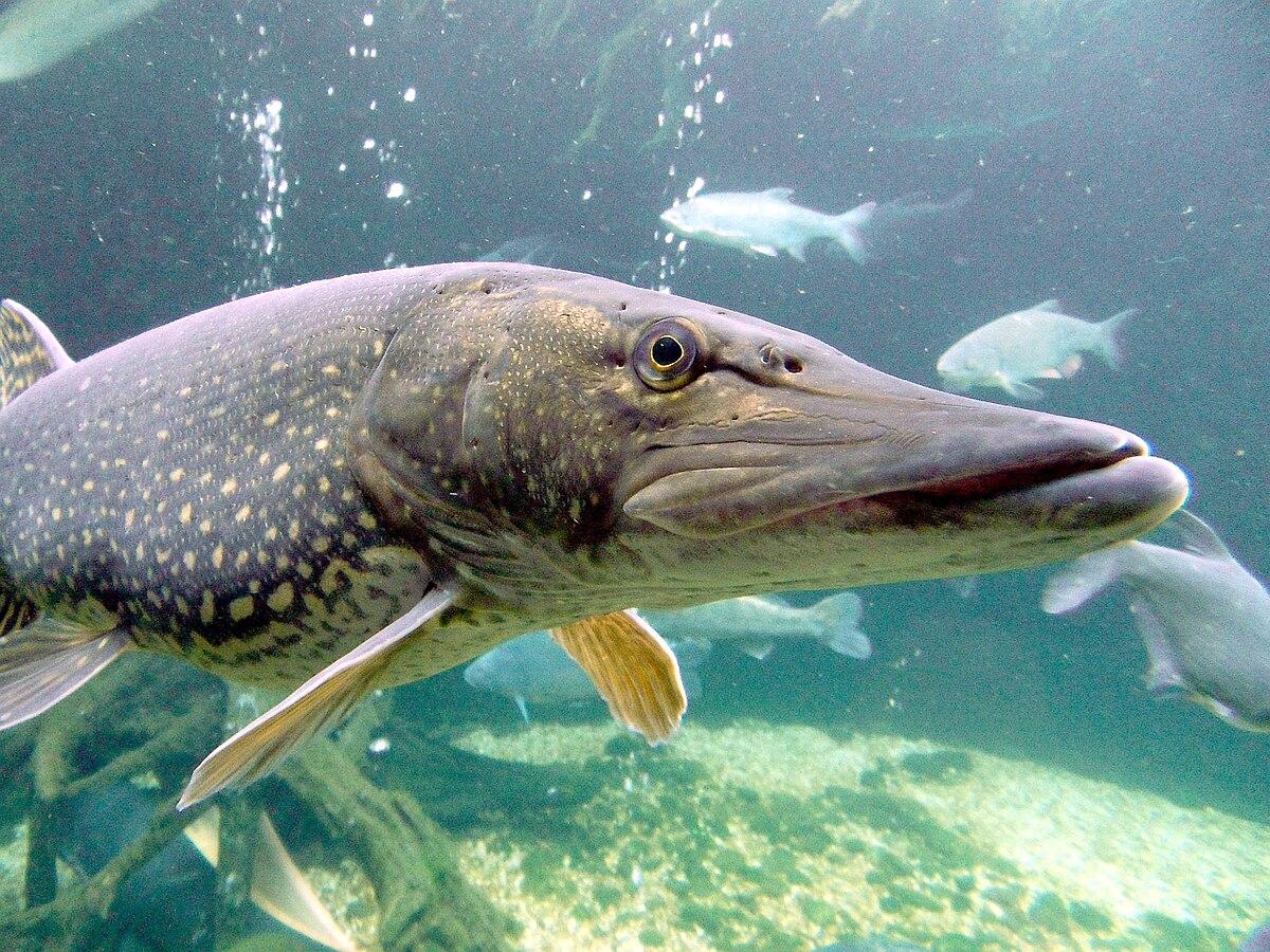 Различает ли рыба цвета википедия