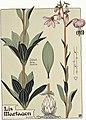 Etude de la plante - p.177 fig.229 - Lis martagon.jpg