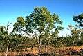 Eucalyptus distans habit.jpg