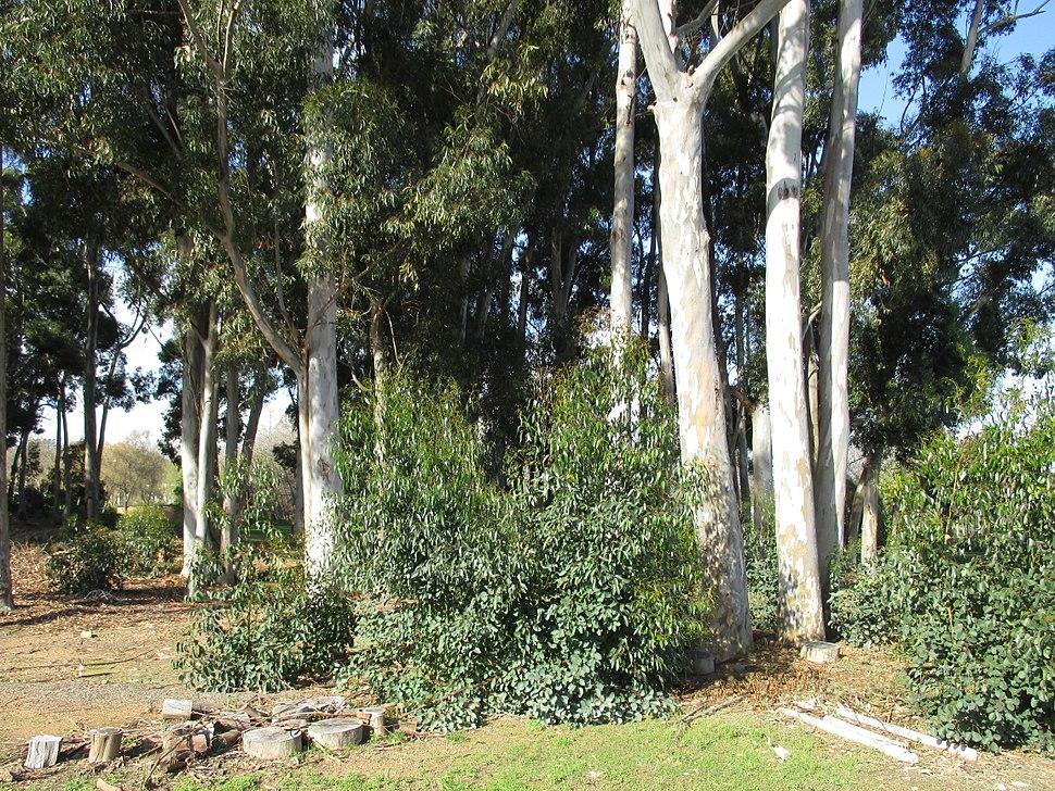 Eucalyptus foliage isobilateral dorsiventral IMG 0588e