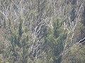 Eucalyptus globulus (Blue Gum) Crater Rd., Maui May 20, 2016 (27110270016).jpg