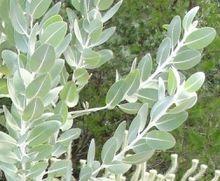 Eucalyptus Tetragona Showing Glaucous Leaves And Stems