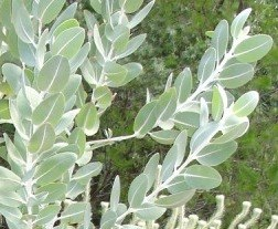 Eucalyptus tetragona - glaucous leaves close