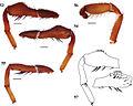 Eucteniza chichimeca male holotype.jpg