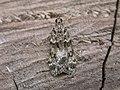 Eudonia mercurella (2946862900).jpg