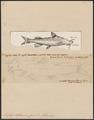 Euglyptosternum coum - 1700-1880 - Print - Iconographia Zoologica - Special Collections University of Amsterdam - UBA01 IZ14600123.tif