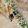 Euodynerus variegatus. Eumeninae - Flickr - gailhampshire.jpg