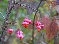 Euonymus europaeus seeds October Ukr002.JPG