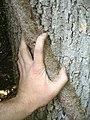 Euonymus fortunei hand.jpg
