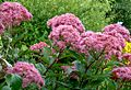 Eupatorium Wasserdost, Grower Mr Vogel.jpg