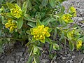 Euphorbia 2015-04-16 317.jpg