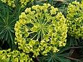 Euphorbia characias JdP 2013-04-28.jpg