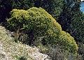 Euphorbia dendroides 1.jpg