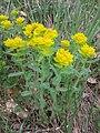Euphorbia polychroma sl3.jpg