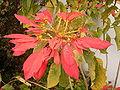 Euphorbia pulcherrima (El Paso) 01.jpg