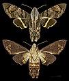 Eupyrrhoglossum sagra MHNT CUT 2010 0 7 France Guyane Camopi female.jpg