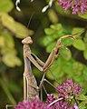 European Mantis (Mantis religiosa) - Guelph, Ontario 01.jpg
