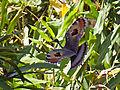 Eurypyga helias, Tapanti NP, Costa Rica 1.jpg